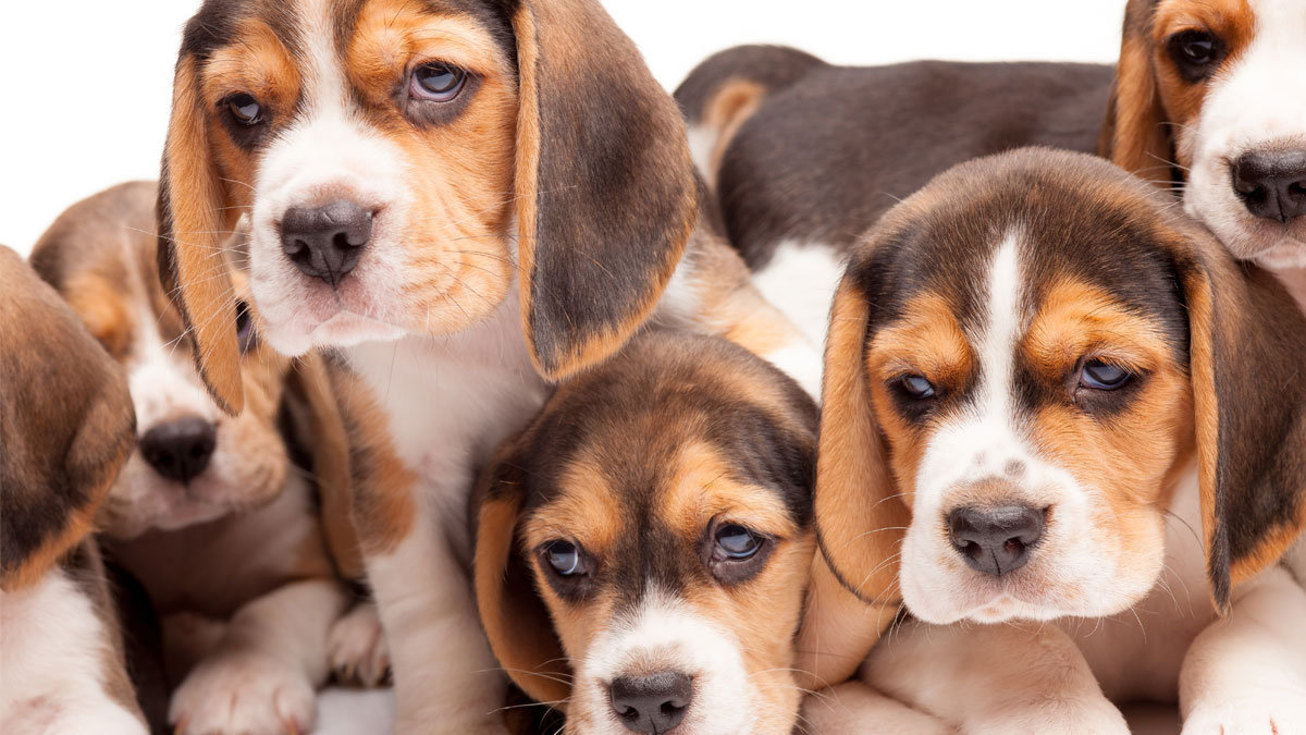 Beagle puppy lying on the white background among other sleeping puppies - Image