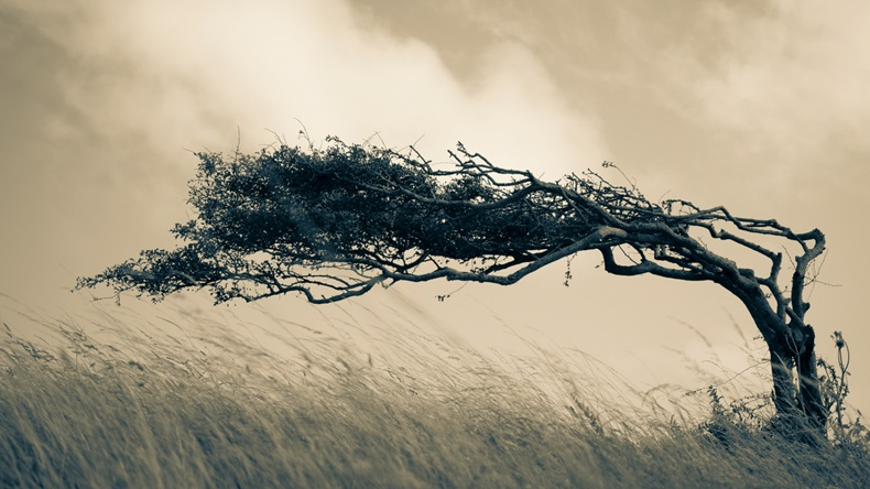A resilient lone tree bends to the elements - strength in adaptability