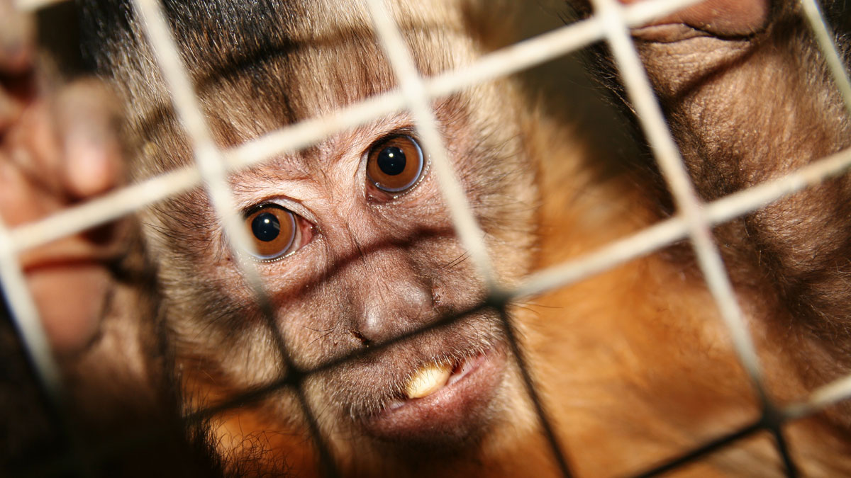 using monkeys in medical experiments Using animals in medical progress organisations such as rds and cmp are crucial, and this report highlighting case studies of important medical advances is most welcome.