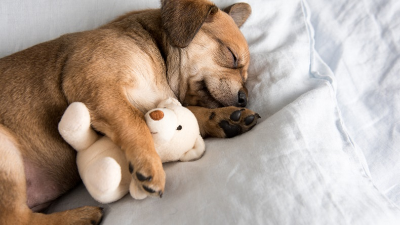 One Month Old Terrier Mix Puppy Sleeping in Bed with Favorite Toy